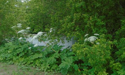 Toxic giant hogweed found in town