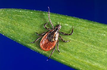 Blacklegged ticks found in Stouffville and York Region