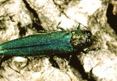 New rebate available for York Region residents to assist with trees killed by emerald ash borer