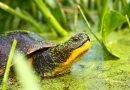 Blanding turtles released in Rouge Park